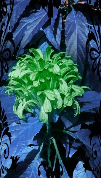 Greenest flower ever