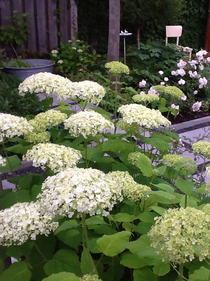 Hortensia anabelle