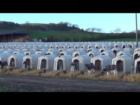 ▶ Animal Equality: UK dairy farm investigation 2017