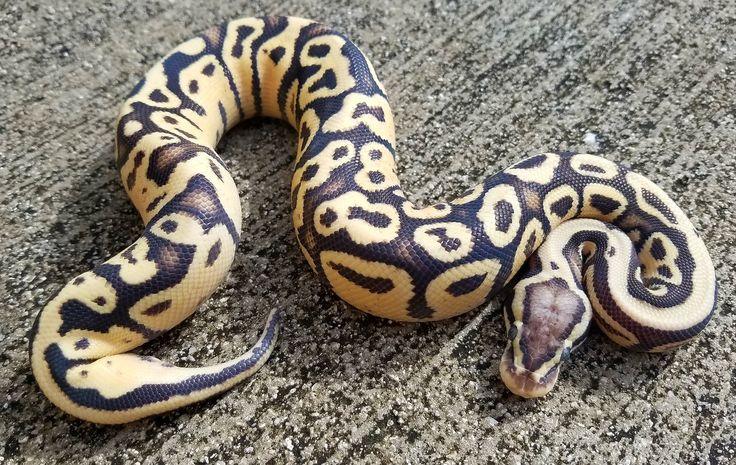 Snakes at Sunset - Super Pastel Vanilla Ball Python for sale (Python regius), $129.99 (http://snakesatsunset.com/super-pastel-vanilla-ball-python-for-sale-python-regius/)