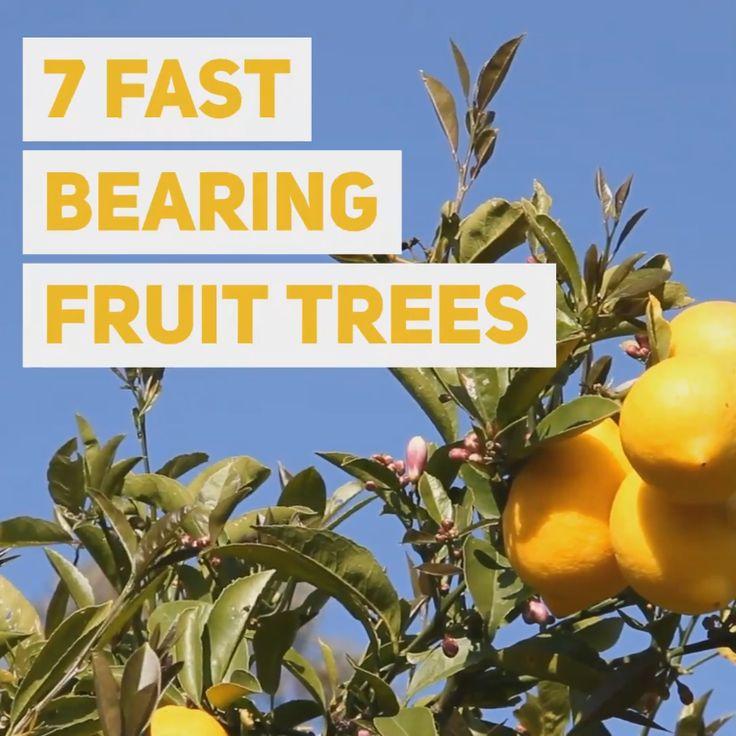 Fruit plants 7 Fast Bearing Fruit Trees Fruit plants