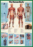 The Human Body Wall Chart - Nuova Arti Grafiche