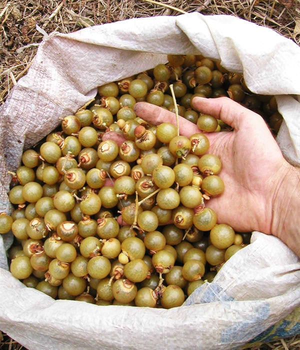 """Jaboncillo: a tree """"fruit"""" that women would boil and use to wash laundry. Boiling it caused the """"fruit"""" to create suds.  Source: fermintellez.blogspot.com."""
