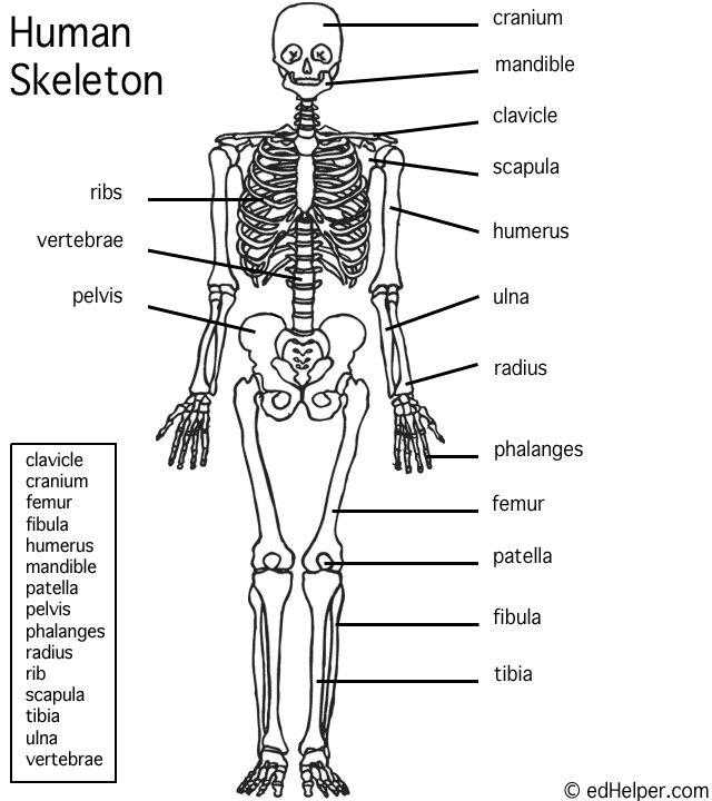 It is a picture of Invaluable Printable Human Skeleton