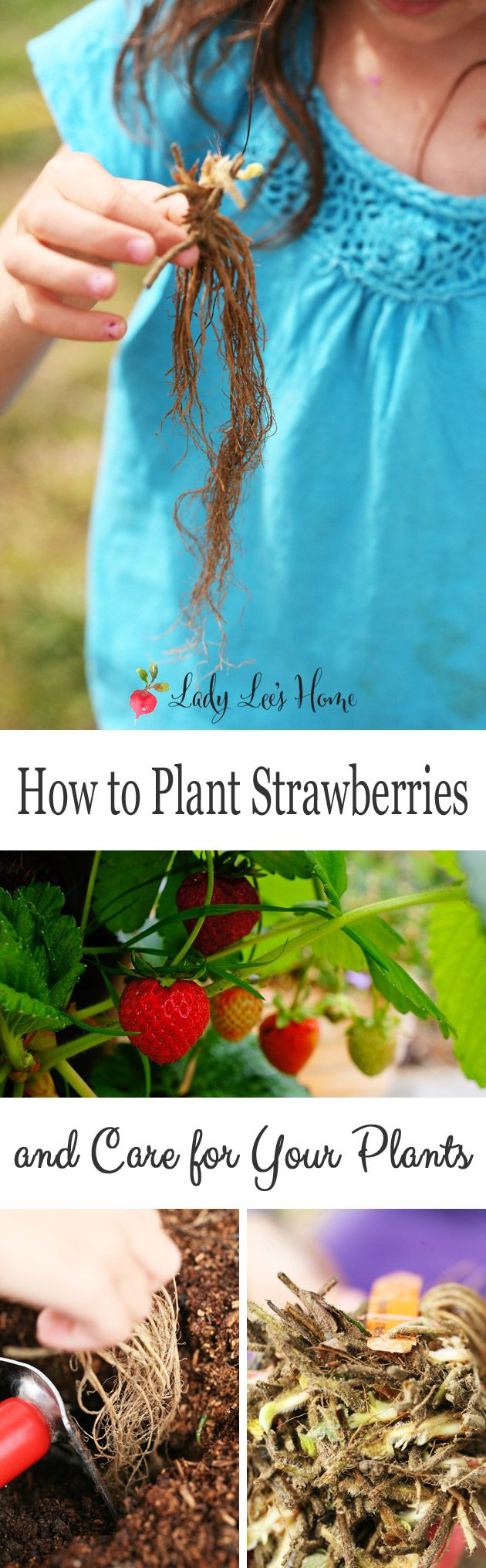 Planting strawberries is so simple! Those plants are super hardy and grow very fast. This is a picture tutorial on how to plant and grow strawberries.