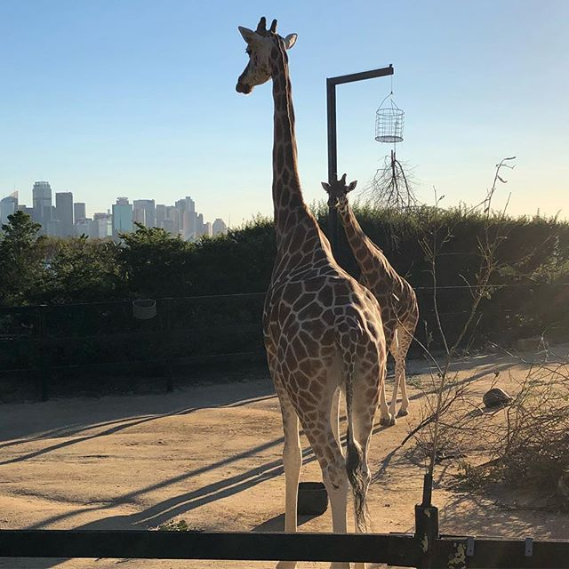 Giraffes! These guys have one of the best views in Sydney and all the height to make the most of it!  #zoo #wildlife #giraffes