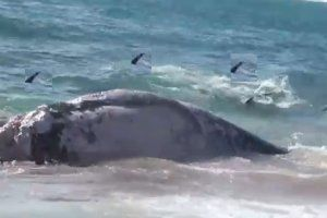 Giant australian shark news story