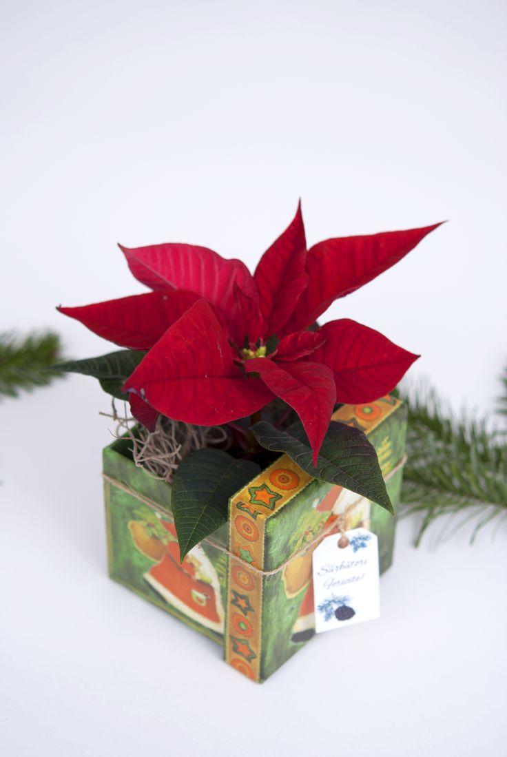 #flower #poinsettia #christmasgiftbox #christmasbox #poinsettiachristmasarrangement #christmas #pottery #poinsettiagift #pottedgift #smallplant #gift,  #pot #plante #pottedplants #christmaspot #christmasdecoration #christmasplants #Christmasplantgift #planteCraciun #aranjamentCraciun #plantecadou #craciunita #craciunitacadou #aranjamentdeCraciun