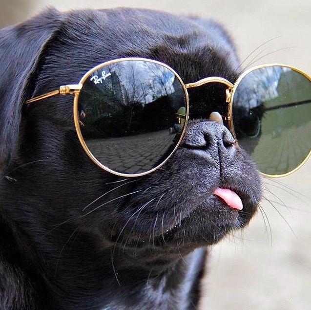 pugs + #raybans | puppy love | Pinterest | Puppys, So cute ...