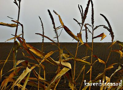 Karen`s Nature Photography: Winter Dried Maize Plants in Front of Bare Soil.
