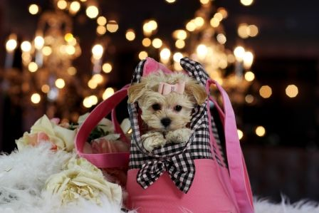 ❤❤❤Bring Daisy Mae The Maltipoo Home Today!❤❤❤ CALL NOW!  ►954-353-7864 ►www.teacuppuppiesstore.com #maltipoo #maltese #poodle #mixed #toy #teacup #micro #pocketbook #teacuppuppies #teacuppuppiesstore #tiny #teacuppuppiesforsale #small #little #florida #miami #fortlauderdale #bocaraton #westpalmbeach #southflorida #miamibeach #cute #adorable #puppy #puppiesforsale #puppylove #unique #mini #miniature