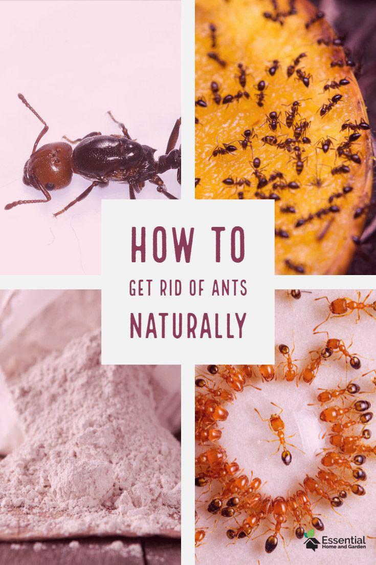 Kill Ants Naturally With Diatomaceous Earth Kill Ants Rid Of