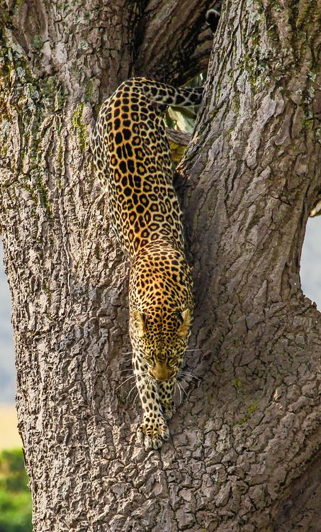emerging leopard by merluna