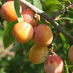 47 Best Images About Dwarf Fruit Trees On Pinterest