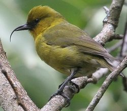 Akiapolaau ...| National Audubon Society Birds.  A member of the Hawaiian honeycreeper family (Drepanididae) that has evolved to fill the niche occupied by woodpeckers in many other parts of the world. Endangered and found only on the island of Hawaii.