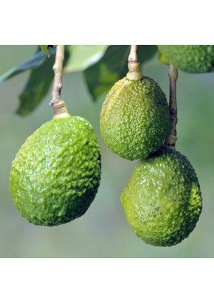 Dwarf Hass Avocado Tree - perfect for growing inside.