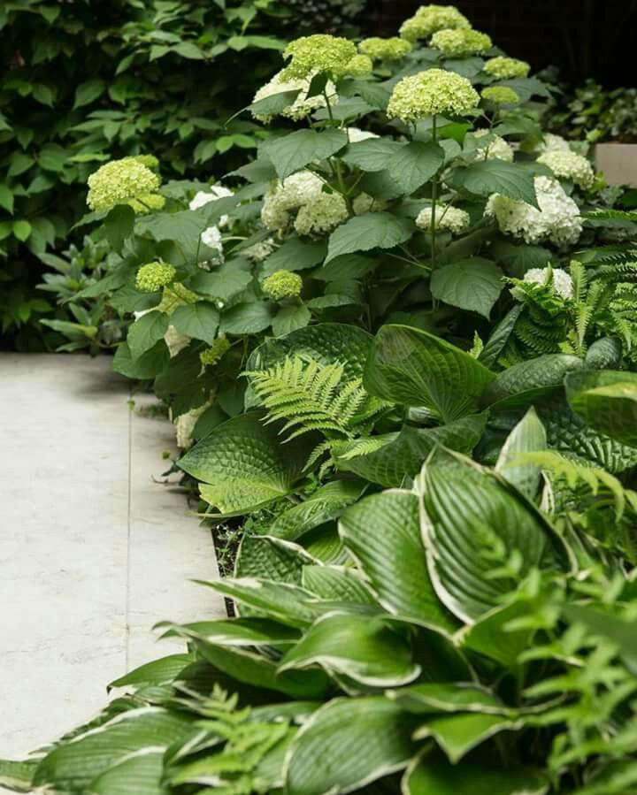 A light-reflecting Annabelle Hydrangea is a show-stopper in this shady setting of ferns and hostas.