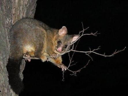 Image result for brushtail possum tas