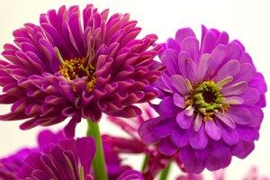 10500 Seeds 100 grams Zinnia elegans Rocky Mountain by seedsshop