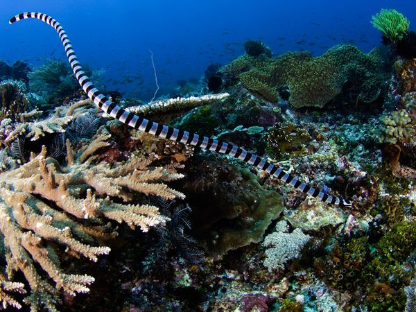Banded Sea Krait - Laticauda colubrina - Widely distributed throughout the eastern Indian Ocean and Western Pacific, this elapid has a paddle-like tail which aids in swimming. Semi-terrestrial, juveniles stay in water or adjacent shore and adults are able to move further inland and spend half their time on land