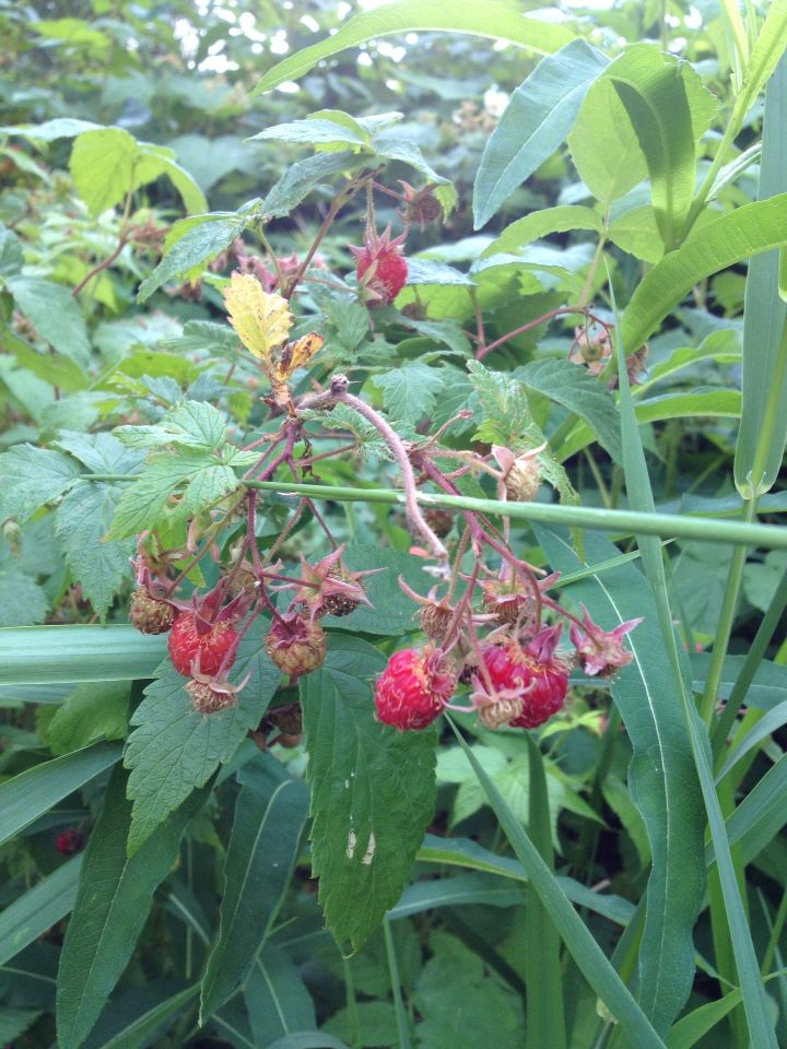 Wild strawberries at the cabin