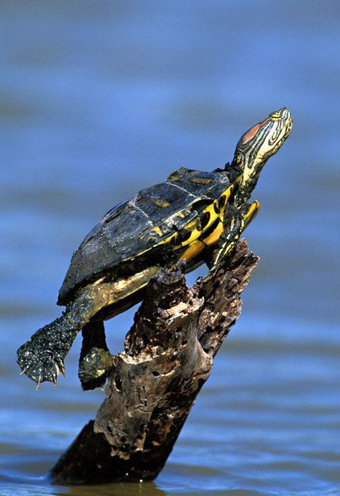 One of the most entertaining turtle breeds you will ever see! Here's how to care for your red-eared slider turtle: