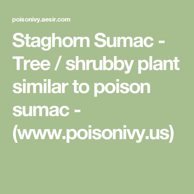 Staghorn Sumac - Tree / shrubby plant similar to poison sumac - (www.poisonivy.us)