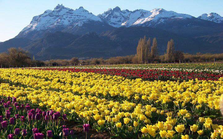 Cultivo de tulipanes. Trevelin. Patagonia argentina.