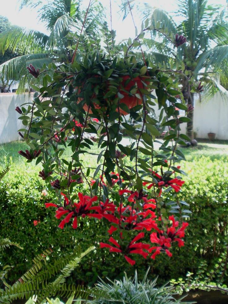 Lipstick mona lisa plant care