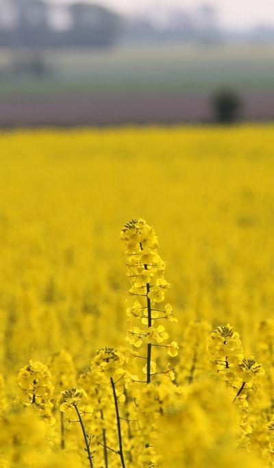 Rapeseed field, Sweden