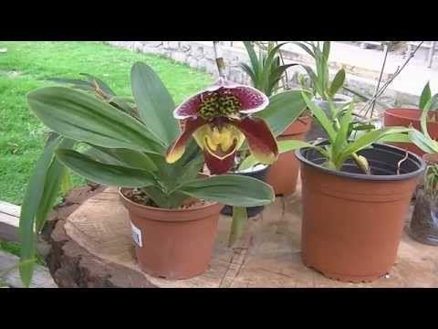 Cultivando orquídeas - Parte 2: ¿Cómo regar las orquídeas? - YouTube