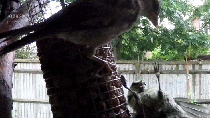 Finch Attacks Bluetit Slow Motion