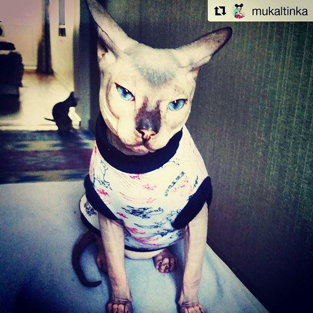 Фотоотчёт покупателей одежды для кошек Сфинкс @clothes_for_cats  #Repost @mukaltinka with @repostapp ・・・ Голубоглазенький не всегда такой скромный, это он для фото прикидывается. Но мы то знаем,  что Луиджи тот еще парниша  пысы: на заднем фоне дружище Пипистрелло Наряды представлены @clothes_for_cats  #луиджи #хулиган #кожарожа #уиииии #кот #сфинкс #ушастый #зверьемое #домашнийлюбимец #донскойсфинкс