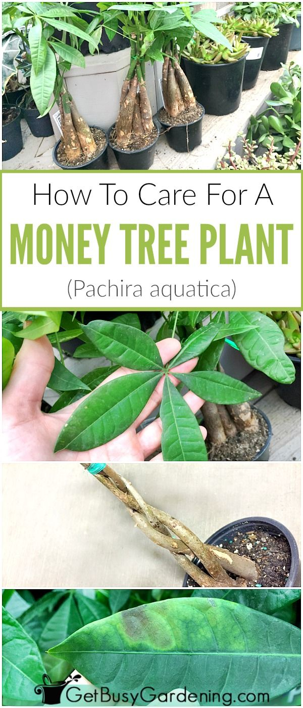 Money plants (the popular bonsai plants with braided trunks) are are fun and easy to grow! Learn how to grow money plants with this in-depth money plant care guide, including watering, light requirements, fertilizer, soil, pruning, fixing common problems, and more!