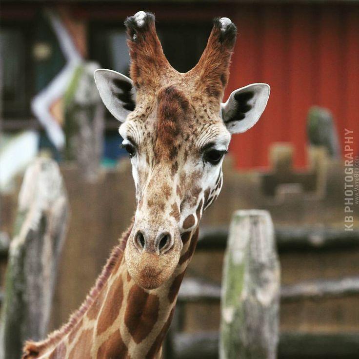 Giraffe :) Taken at the zoo in Kristiansand. #giraffe,#giraff,#sjiraff,#zoo,#dyrepark,#dyreparken,#dyreparkenkristiansand,#kristiansanddyrepark,#kristiansand,#sørlandet,#norge,#norway,#summer,#sommer#,vampbea,#beautiful,#animal