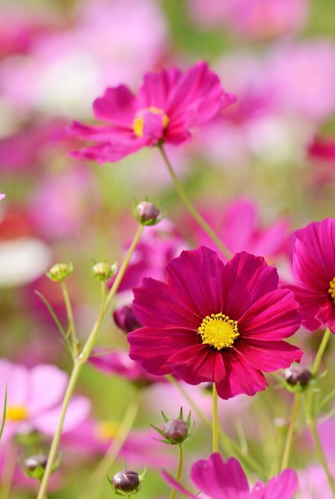The Only Flowers You Need For A Standout Fall Garden In 2020 Cosmos Flowers Birth Flowers Cosmos Flower Photos