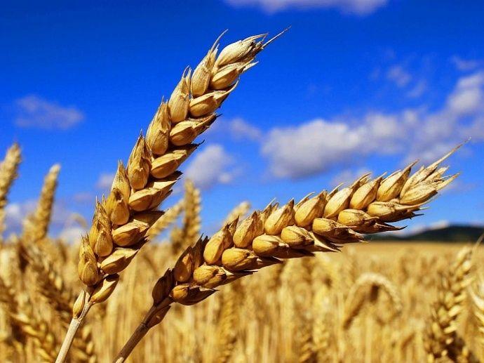 Премьер-министр: в России собрано 112 миллинов тонн зерна урожая