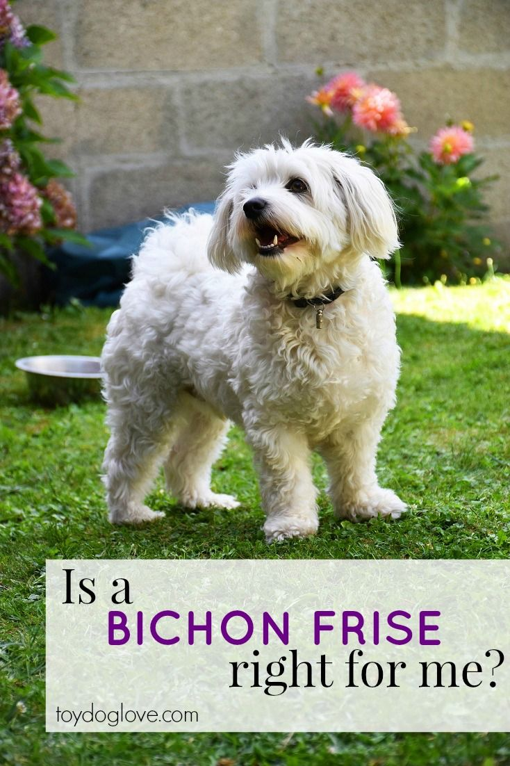 Everything you need to know about Bichon Frise as a family pet - personality, adaptability, grooming and exercise needs and kid-friendliness.