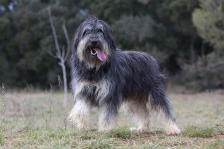 177 best Catalan Sheepdog images on Pinterest