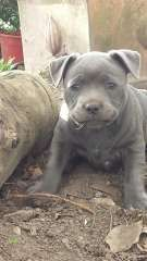 blue staffy puppys | puppies for sale Maclean New South Wales | Staffordshire Bull Terrier dogs for sale in Australia - http://www.pups4sale.com.au/dog-breed/491/Staffordshire-Bull-Terrier.html