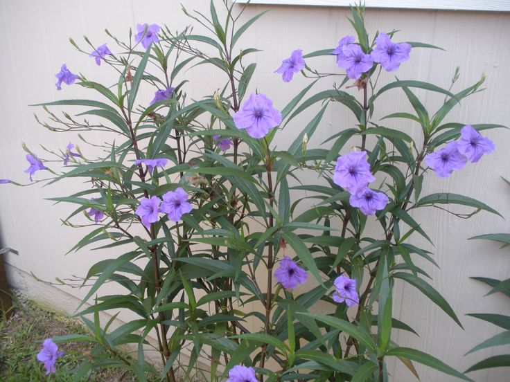 Mexican petunia..Love these...full of blooms until first ...
