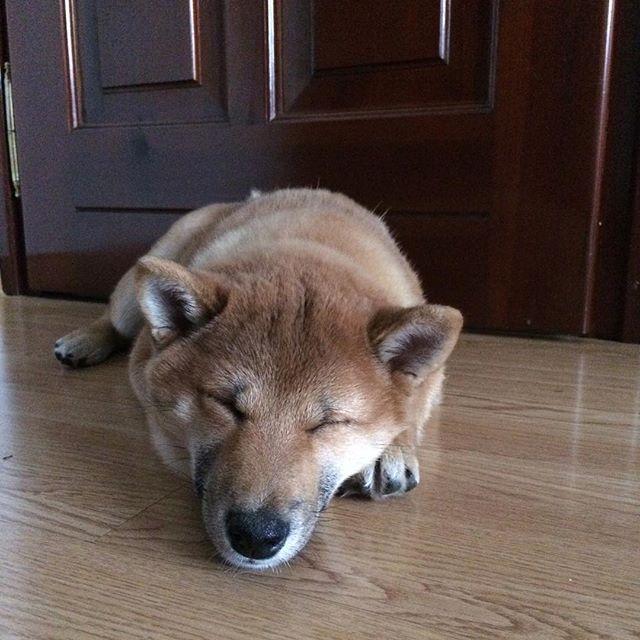 Sleepy Saturday  #shibainu #shiba #inu #shibagirl #shibastagram #shibalove #shibas #柴犬 #dogsofinstagram #instashiba #pictureoftheday #saturday #sleepy #day #dog #doggy #doge #piesel #pies #pieseł #redshibas #funny #cute #Kira