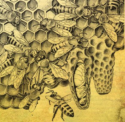 Old illustration of bees. I like the cut-away view of the queen cell...by heidemanfarm