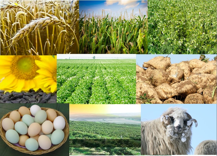 In Romania the main agriculture products are wheat, corn, barley, sugar beets,sunflower seeds, potatoes, grapes, eggs and, sheep.