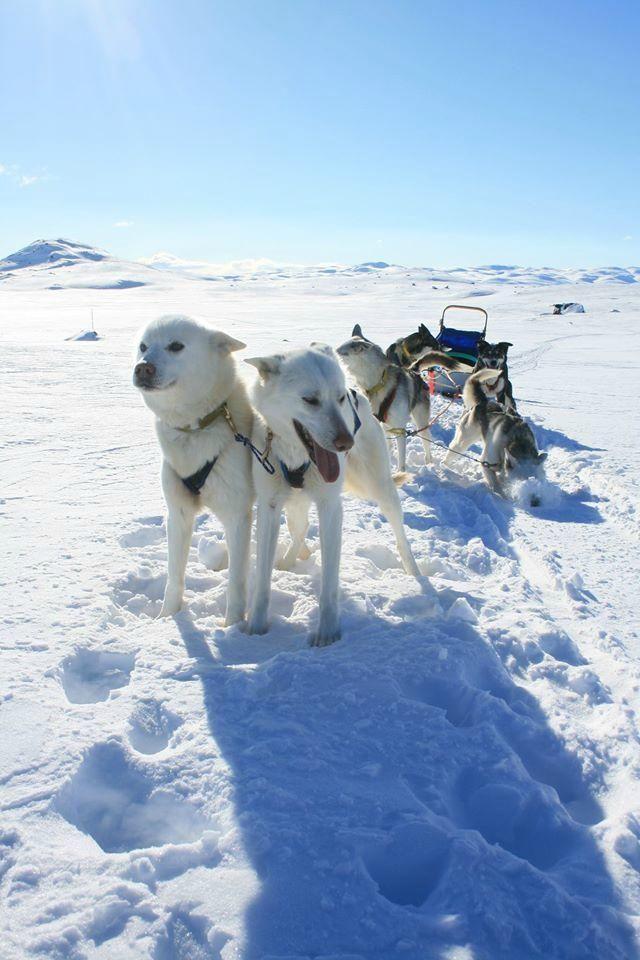 Haukeli Husky - Day Tours - Rauland, Norway