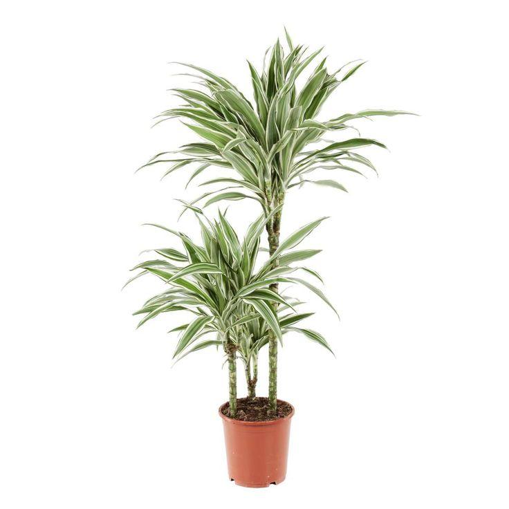 1000 id es sur le th me dracaena plant sur pinterest plantes plantes de bambou et plantes d. Black Bedroom Furniture Sets. Home Design Ideas