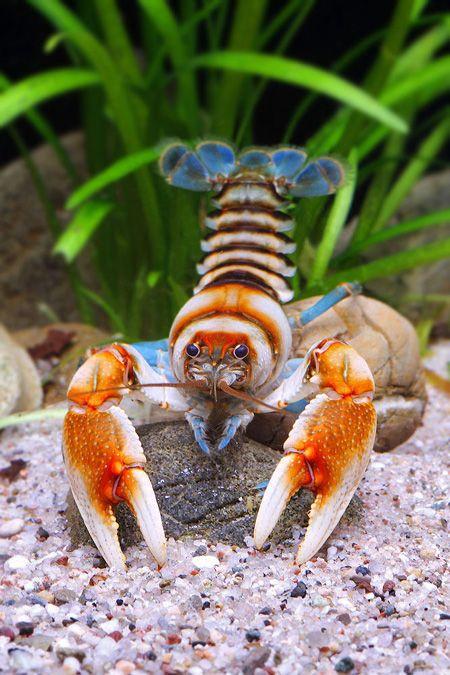 Depression crayfish crayfish pinterest aquariums for Fishing with crawfish