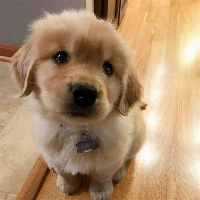 Dog Puppy Animal Dogs Golden Retriever