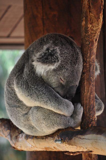 Koala - Fast asleep.