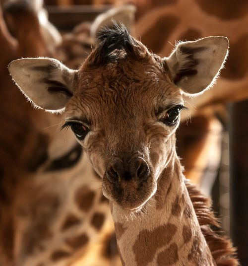 Newborn Giraffe by TenPinPhil on flickr